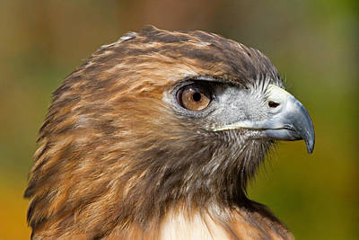 Photograph - Red-tailed Hawk Portrait by David Freuthal