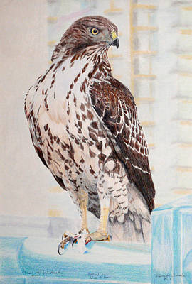 Red Tail Hawks Drawing - Red-tailed Hawk by Ross Michaels