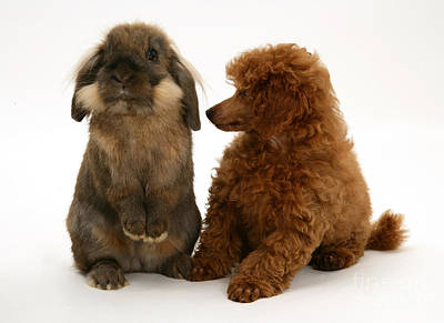House Pet Photograph - Red Toy Poodle Pup With A Lionhead by Mark Taylor