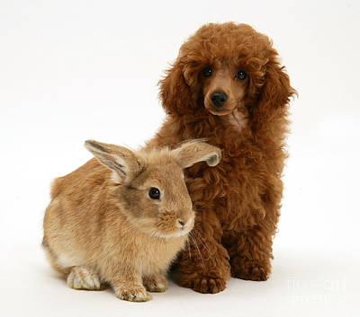 Red Toy Poodle Pup With Lionhead-cross Art Print by Mark Taylor