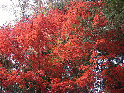 Red Leaves Photograph - Red Tree by Naxart Studio