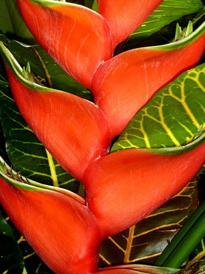 Photograph - Red Tropical by Beth Akerman