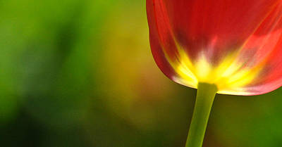 Art Print featuring the photograph Red Tulip 2 by Ronda Broatch