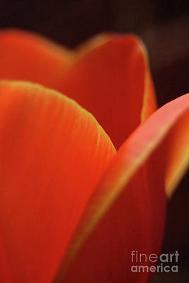 Photograph - Red Tulip by Jeannette Hunt