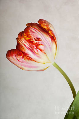 Violet Bloom Photograph - Red Tulip by Nailia Schwarz