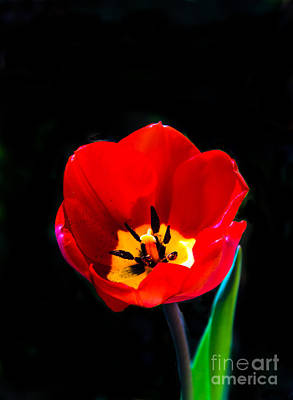 Photograph - Red Tulip by Robert Bales