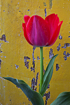 Chip Photograph - Red Tulip With Yellow Wall by Garry Gay