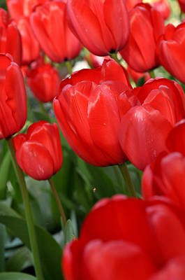 Red Tulips Close Up Art Print