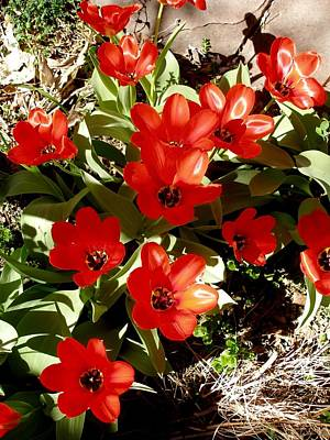 Art Print featuring the photograph Red Tulips by David Pantuso