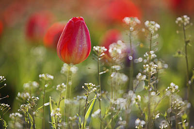 Red Tulips Growing With Sprigs Of Small White Flowers At Wooden Shoe Tulip Farm Art Print