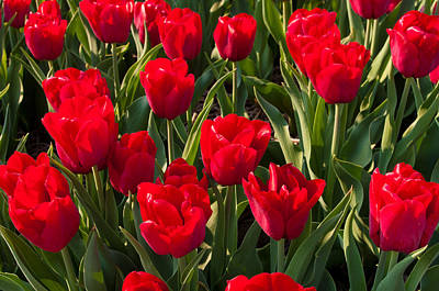 Red Tulips Art Print by Hans Engbers