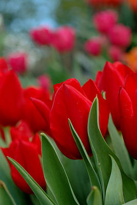 Photograph - Red Tulips by Joann Vitali