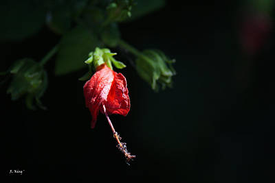 Photograph - Red Turk Cap With Dark Background by Roena King