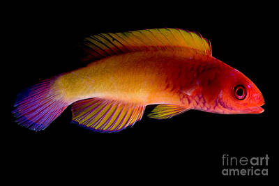 Red Velvet Fairy Wrasse Art Print by Dant� Fenolio
