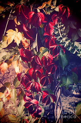 Photograph - Red Vine by Silvia Ganora
