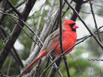 Photograph - Red Visitor by Judy Wanamaker
