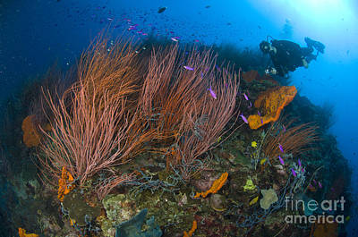 Photograph - Red Whip Fan Coral With Diver by Steve Jones