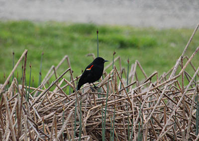 Photograph - Red Wing Blackbird by Donna L Munro