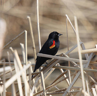 Photograph - Red-winged Blackbird - 0002 by S and S Photo