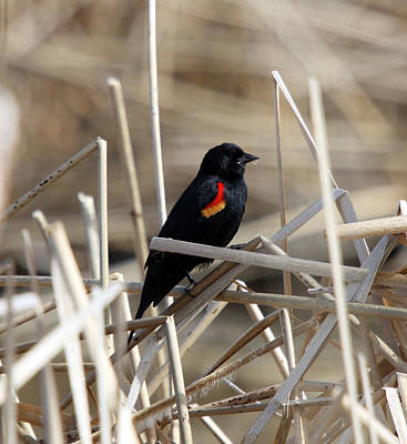 Photograph - Red-winged Blackbird - 0003 by S and S Photo