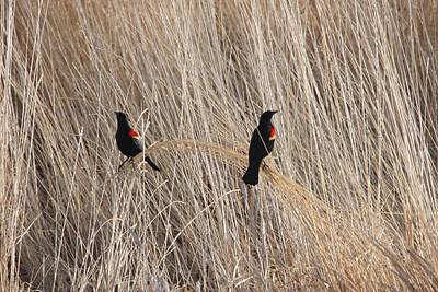 Photograph - Red-winged Blackbird - 0007 by S and S Photo