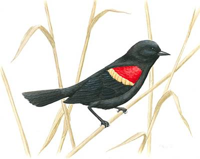 Painting - Red-winged Blackbird by Anna Foley