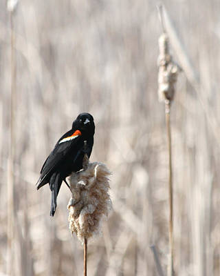 Photograph - Red-winged Blackbird On A Cattail Perch by Mark J Seefeldt