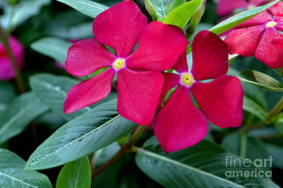 Red Woodland Phlox Flowers Print by Eva Thomas