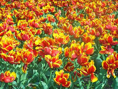 Photograph - Red-yellow Tulips by Sandra Lira