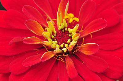 Photograph - Red Zinnia  by Puzzles Shum