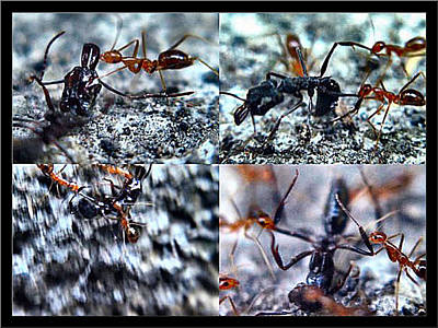 Photograph - Redbblackants27 2002 by Glenn Bautista
