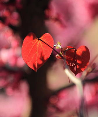 Photograph - Redbud In Spring by Scott Rackers