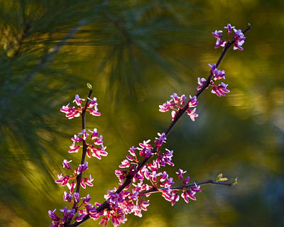 Abstract Works - Redbud by Rob Travis