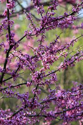 Photograph - Redbuds by David Dunham