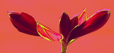 Photograph - Redder Amaryllis by Christopher Kirby