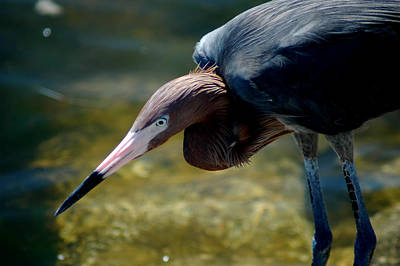 Photograph - Reddish Egret 2 by David Weeks