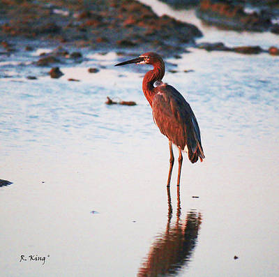 Photograph - Reddish Egret Basking In The Sunset by Roena King