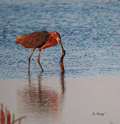 Photograph - Reddish Egret Checking It Out by Roena King