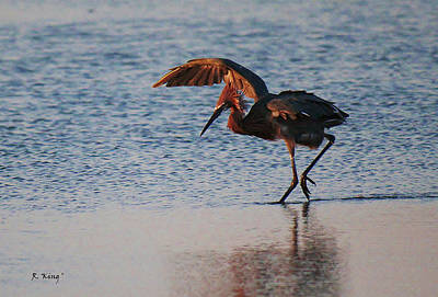 Photograph - Reddish Egret Doing A Forging Dance by Roena King