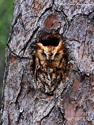 Photograph - Reddish Screech Owl by Barbara Bowen