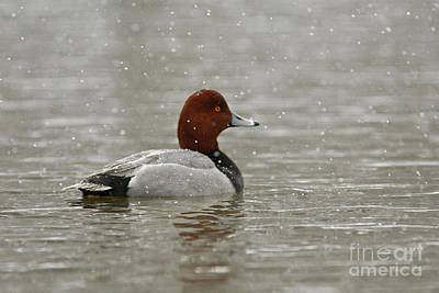 Redhead Duck In Winter Snow Storm Art Print by Inspired Nature Photography Fine Art Photography