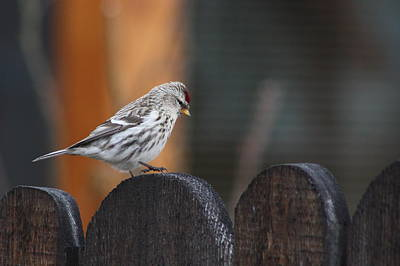 Photograph - Redpoll Steppin Up by Cathie Douglas