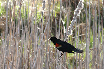 Photograph - Redwing Blackbird by Mark J Seefeldt