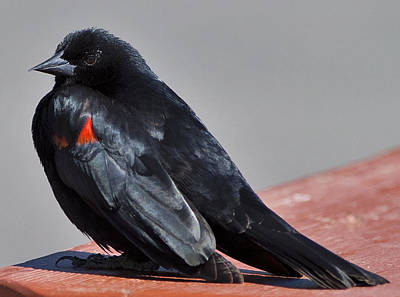 Photograph - Redwinged Blackbird by Gregory Scott