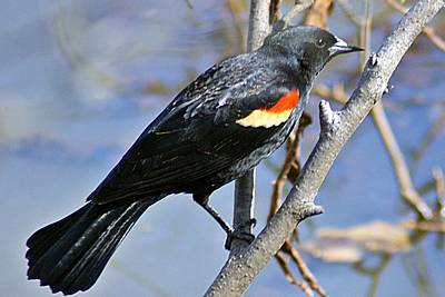 Photograph - Redwinged Blackbird I by Joe Faherty