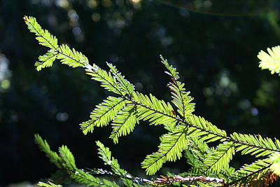 Photograph - Redwood Absorbing Some Sunshine by Ben Upham III