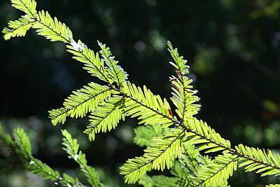 Photograph - Redwood Absorbing Sunlight by Ben Upham III