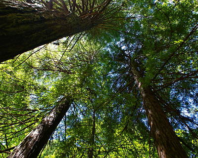 Photograph - Redwood Canopy In Mill Valley 2012 by Ben Upham III