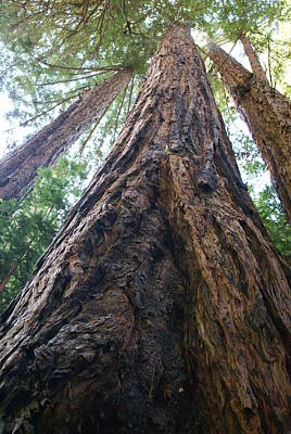 Photograph - Redwood Reaching The Heavens by Ben Upham III