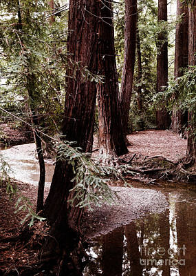 Redwood Stream Reflections Art Print by Laura Iverson